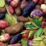 История картофеля