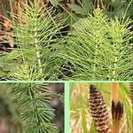 Растения, помогающие в борьбе с целлюлитом1